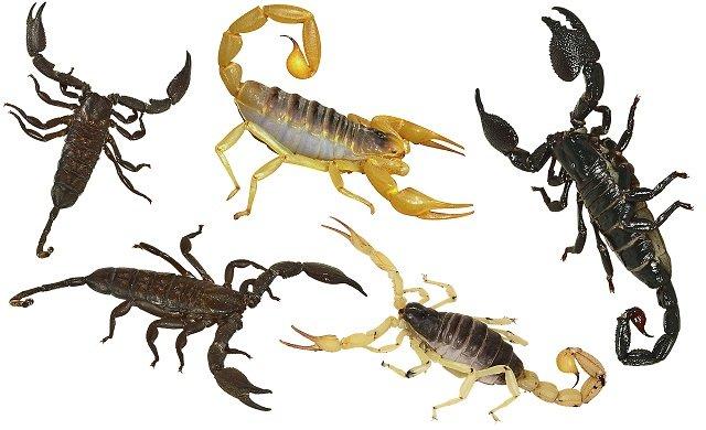 Scorpioni in Italia