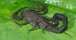 Tityus obscurus, lo scorpione oscuro