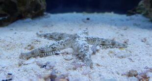 Astropecten polyacanthus - Stella marina a pettine