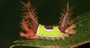 Bruco Sella - Acharia stimulea