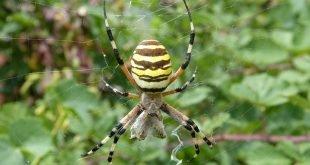 Ragno vespa - Argiope bruennichi