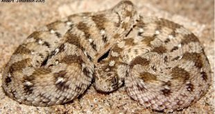 Echis ocellatus - Echide ocellato