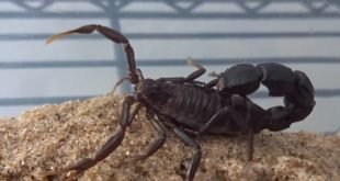 Androctonus bicolor - Scorpione nero dalla coda spessa