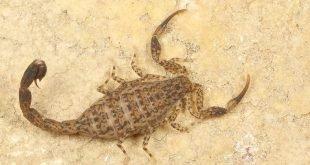 Lychas marmoreus - Scorpione marmorizzato