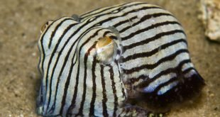 Sepioloidea lineolata – Calamaro a strisce
