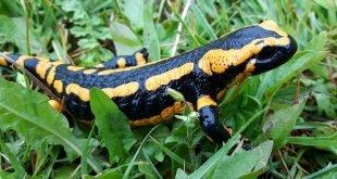 Salamandra pezzata- Salamandra salamandra
