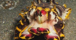 Seppia fiammeggiante di Pfeffer - Metasepia pfefferi