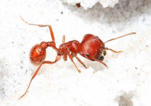 Formica mietitrice della Florida - Pogonomyrmex badius