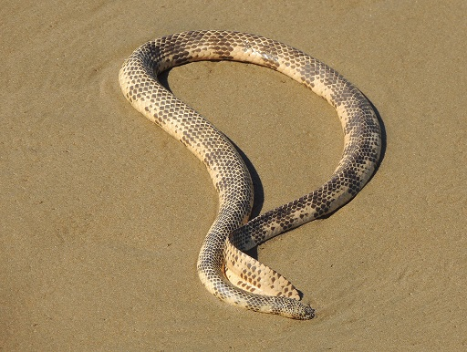 Serpente di Mare di Dubois - Aipysurus duboisii