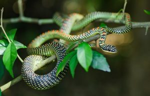 Serpente volante del paradiso - Chrysopelea paradisi